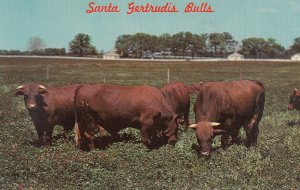 SANTA GERTRUDIS Bulls , King Ranch , Texas , 50-60s