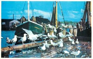 Cape Ann Massachusetts~Sea Gulls Gorge Themselves on Fish Scraps 1960s