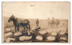 RPPC Mules Dig Giant Exaggerated Lewiston, ID Potatoes Real Photo Postcard *5B