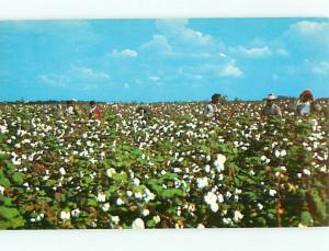 Vintage Post Card Cotton Picking Farming Black Afro American Plantation   # 4205
