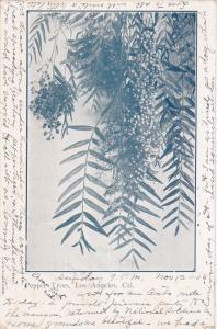 Pepper Trees, Los Angeles, California, PU-1905