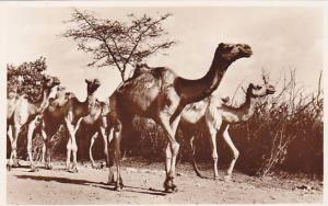RP; Camels on the Modjo Road , Ethiopia , 20-30s
