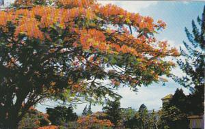 Acacias En Flor Caracas Venezuela