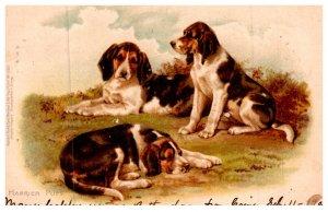 Dog  , Harrier Pups