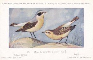 Wheatear Oenanthe Motteux Cendre Bird WW2 Rare Postcard