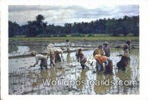 Planting Rice Malaysia 1956