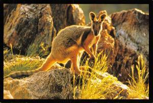 Postcard Yellow Footed Rock Wallaby - Petrogale Xanthopus, Australia E7