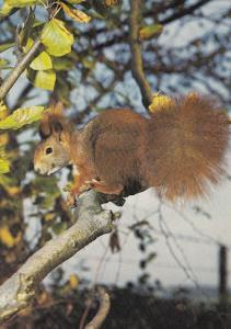 Beautiful Squirrel In Tree 1970s Postcard