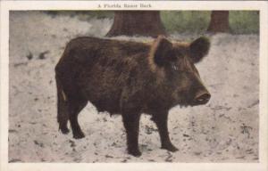 Pigs A Florida Razor Back