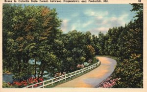 b/w Hagerstown & Frederick, MD, Catoctin State Forest, Vintage Postcard g8249