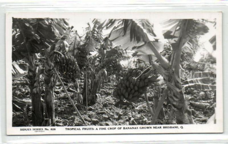 australia, BRISBANE, Bananas Tropical Fruits (1950s) RPPC