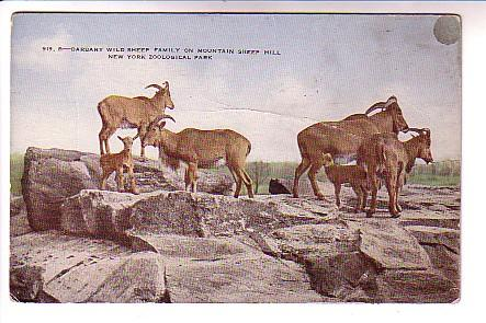 Barbary Wild Sheep Family, New York Zoological Park, Official Post Card