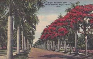 Royal Poinciana Tree Amidst Majestic Royal Palms Florida Curteiclh