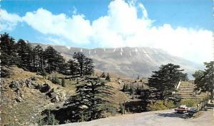 Cedars, Lebanon Postcard, Carte Postale  Cedars