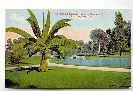 Abyssinian Banana Tree, Hollenbeck Park, Los Angeles, California, Souvenir Pu...