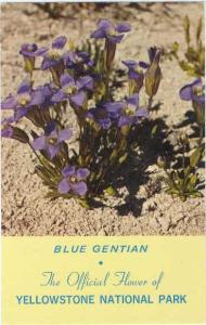 Blue Gentian Official Flower of Yellowstone Park Wyoming WY