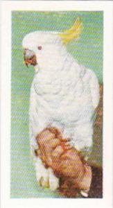 Hornimans Tea Trade Card Pets No 30 Sulphur Crested Cockatoo