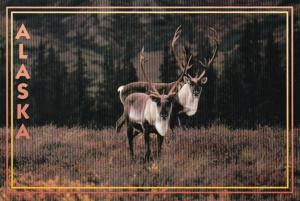 Alaska Alaskan Caribou
