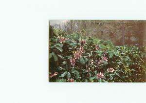 Vintage Postcard Story Passion Flower South America Mexico  # 3019