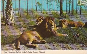 Florida West Palm Beach Lions At Lion Country Safari 1970