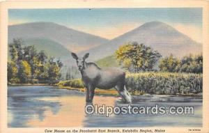 Katahdin Region, Maine, USA Cow Moose Postcard Post Card Katahdin Region, Mai...