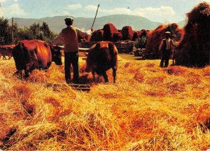 B108778 Istanbul Field Cows Animals turkey