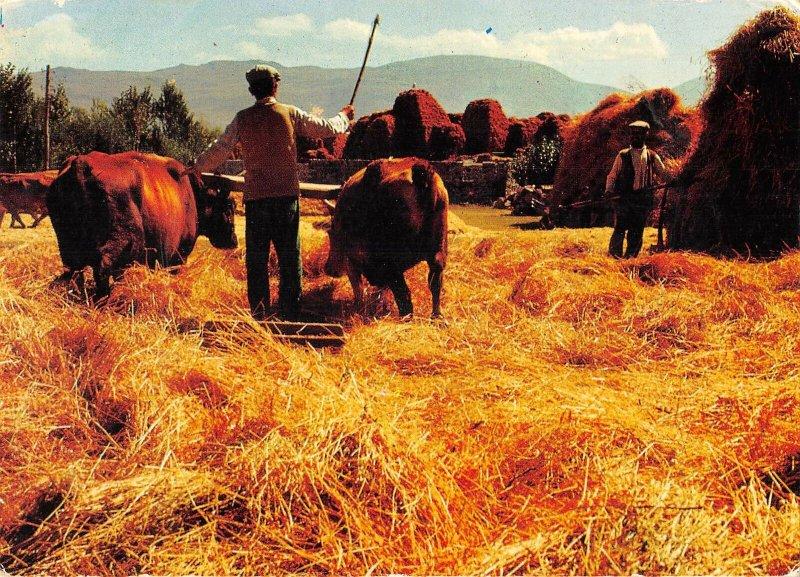 B108778 Istanbul Field Cows Animals turkey