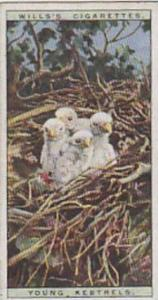 Wills Vintage Cigarette Cards Life In The Tree Tops Series No. 28 Young Kestr...