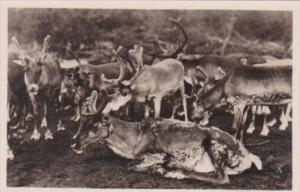 Reindeer Renntiere Im Gehege Norddeutscher Lloyd Bremen Real Photo