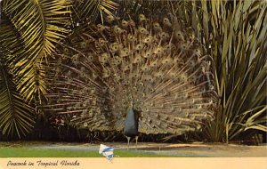 Peacock  Birds FL