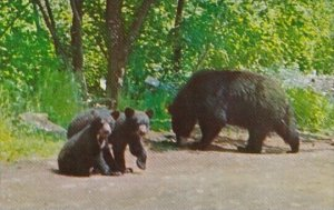 Mother Black Bear and Cubs Baxter State Park Maine