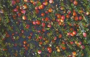Massachusetts Cape Cod Hanson Ocean Spray Cranberries