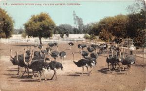 Los Angeles California~Cawston's Ostrich Farm~Man Watches Group of Birds~c1910