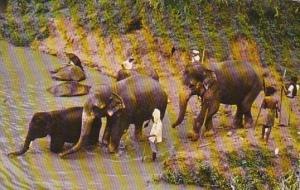 Elephants Going Down To Bathe In Katugastota River Near Kandy Ceylon