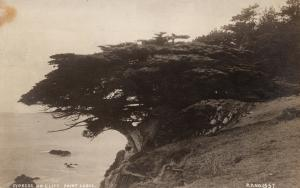 Cypress on Cliff Point Lobos CA Petaluma Unknown Photographer RPPC Postcard E56