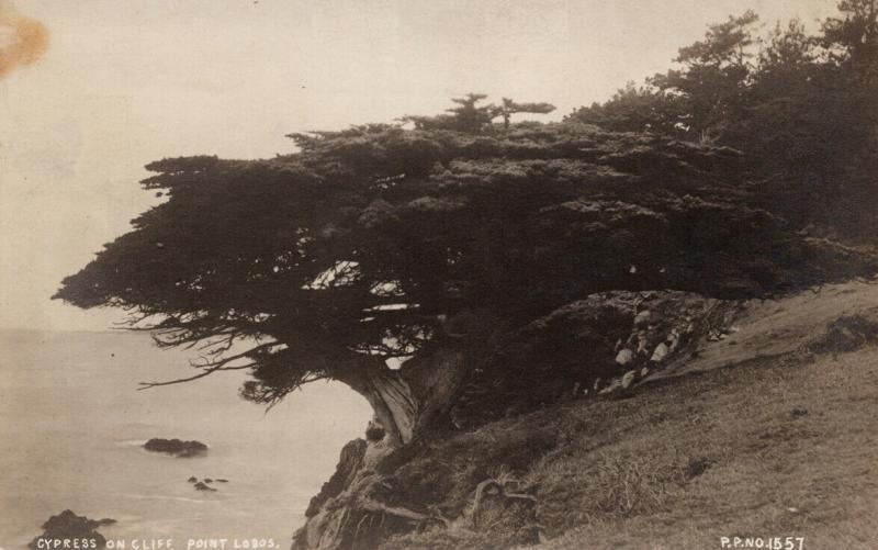 Cypress on Cliff Point Lobos CA Petaluma Unknown Photographer RPPC Postcard E56