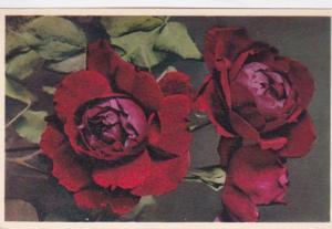 Flowers Hybrid Rose Heros