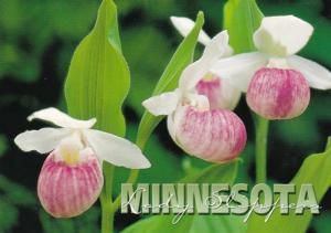 Minnesota State Flower Pink & White Showy Lady's Slipper