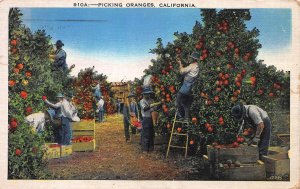 Picking Oranges in California, Early Postcard, Used in 1936