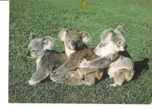 Postal 026564 : Koalas at play, Australia