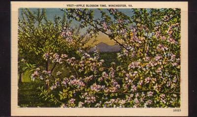 Virginia Postcard Apple Blossom Time Winchester