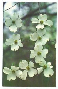 Dogwood Flower Tree Legend