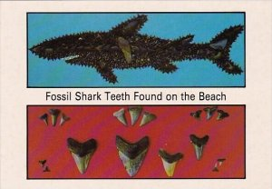 Greeings From Myrtle Fossil Shark Teeth Found On the Beach Myrtle Beach South...