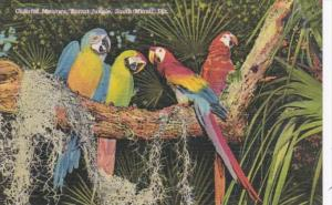 Florida Miami Beautiful Macaws At Parrot Jungle Curteich