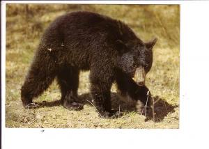 Black Bear, North American Wildlife
