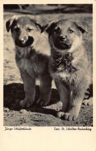 Junge Schaferhunde Young Sheepdogs Foto Dr Schultze Postcard