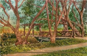 California~Rustic Bridge Among the Oaks~1910 Postcard