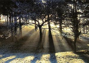 New Postcard A Wessex Woodland Scene, Trees, Woods, Sunlight, Dorset, Hampshire