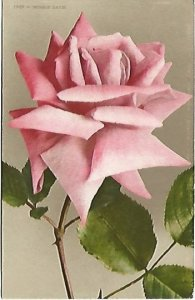 A Single Pink Country Roses Winnie Davis Vintage Postcard Edwin H. Mitchell San