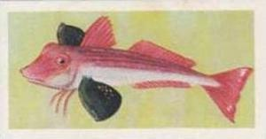 United Tobacco South Africa Vintage Trade Card African Fish 1937 No 13 Red Gu...